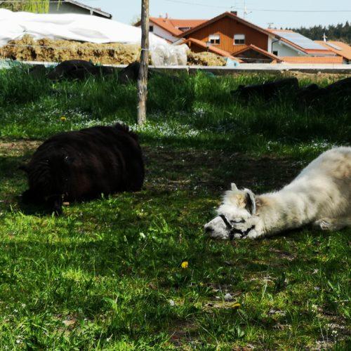 ... chillen die Alpakas nach ausgiebigem grasen